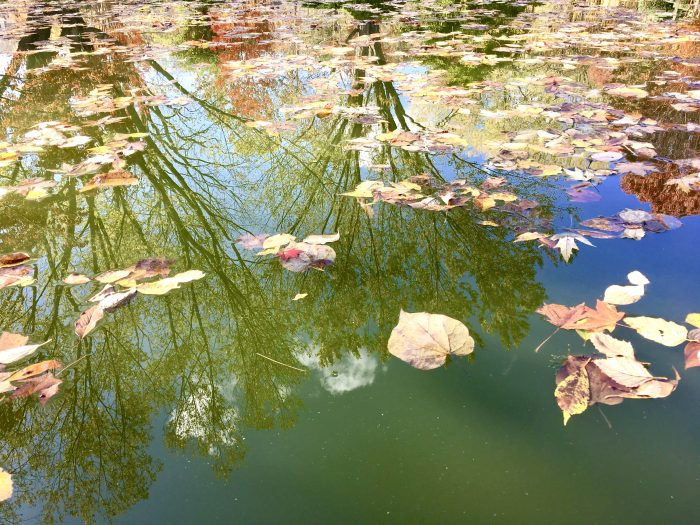 Pond with floating leaves