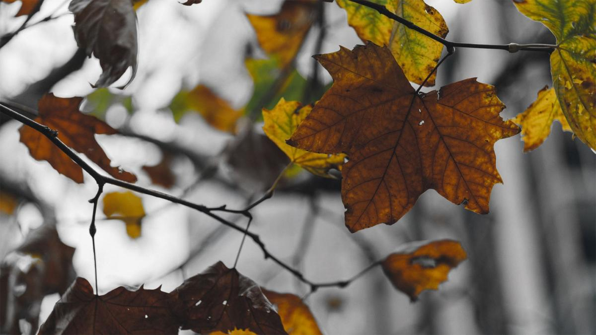 Sycamore leaves with black and white background