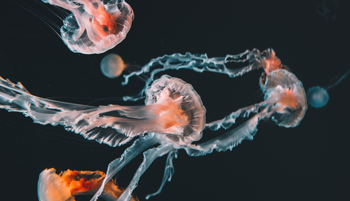 jellyfish on black background