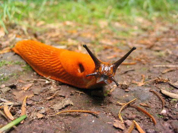 1280px-Orange_slug