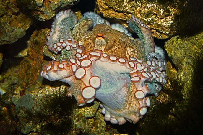 800px-Octopus_vulgaris_03