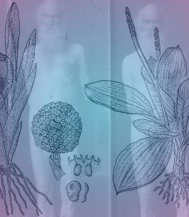 Acorus Calamus botanical drawing with Eakins nudes
