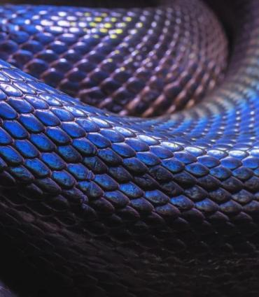 close up of a black snake